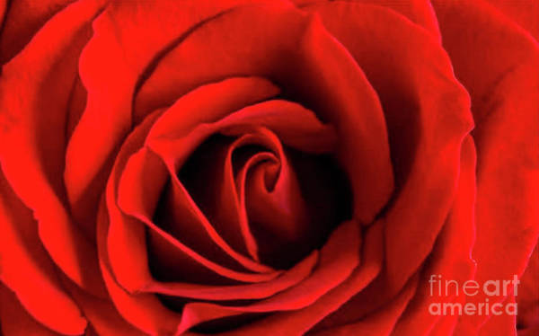Tracy Hall Wall Art - Photograph - Red Rose by Tracy Hall