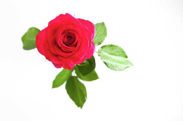 Photograph - Red Rose White Background by Helen Northcott