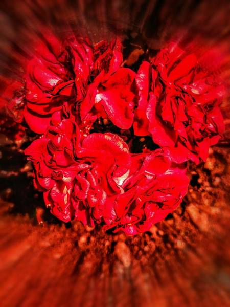 Photograph - Red Roses by AE collections