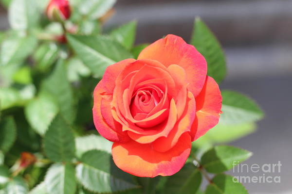 Wall Art - Photograph - Purple Red Pedaled Rose by Barbra Telfer