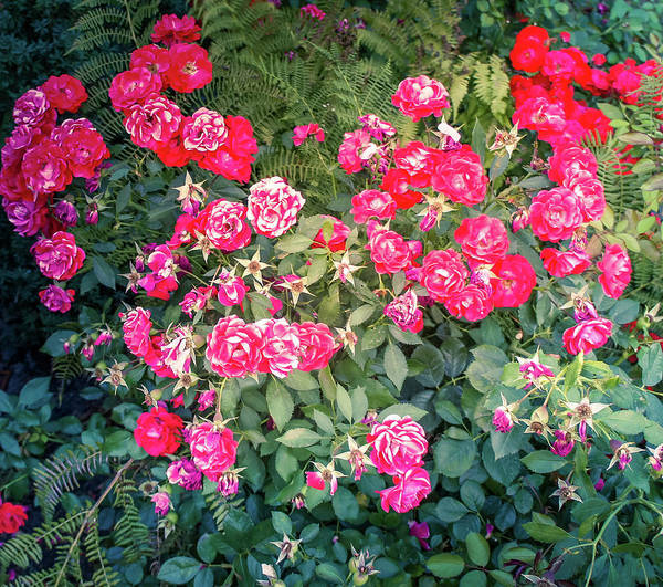 Wall Art - Photograph - Red Roses In A Garden by Art Spectrum