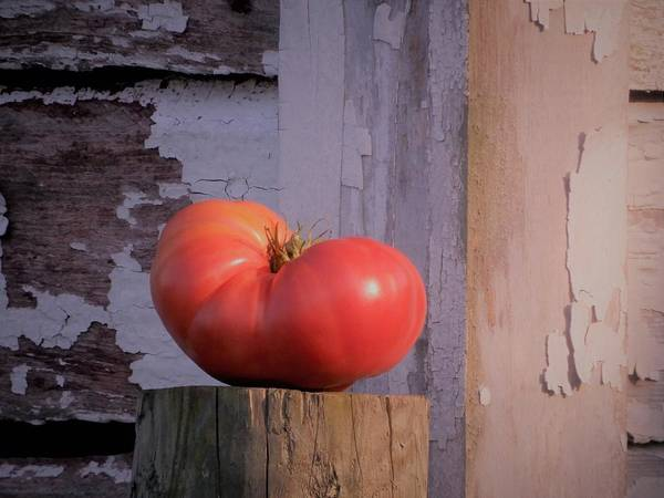 Photograph - Red Russian Tomato by Tina M Wenger