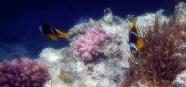 Photograph - Red Sea Anemonefish Panorama by Johanna Hurmerinta