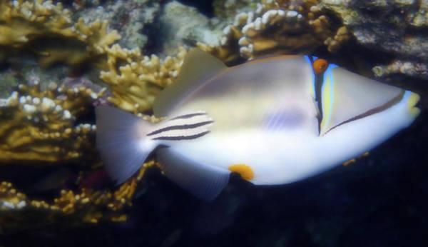 Photograph - Red Sea Arabian Picasso Triggerfish by Johanna Hurmerinta