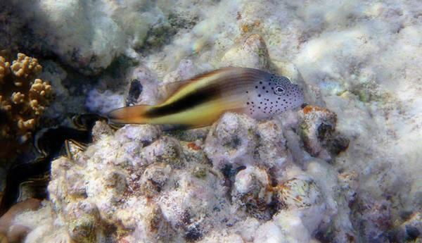 Photograph - Red Sea Blackside Hawkfish Macro Photo by Johanna Hurmerinta