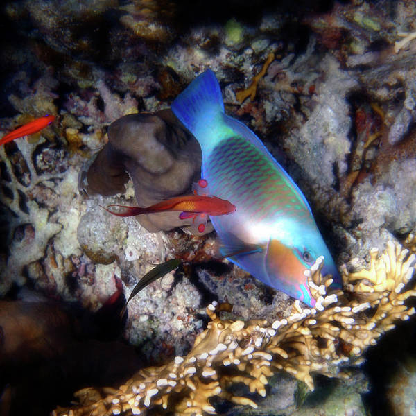 Photograph - Red Sea Daisy Parrotfish And Anthias by Johanna Hurmerinta