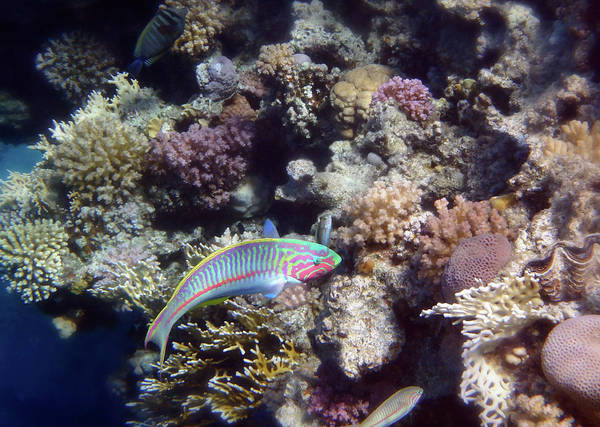 Photograph - Red Sea Kluntzingers Wrasse Among The Corals by Johanna Hurmerinta