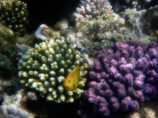 Photograph - Red Sea Sulphur Damsel Fish And Raspberry Corals Closeup  by Johanna Hurmerinta