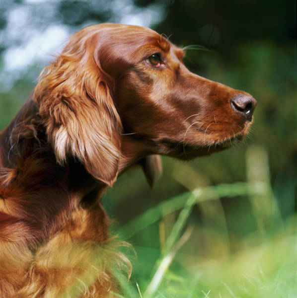 Setters Photograph - Red Setter Outside by Adrian Burke