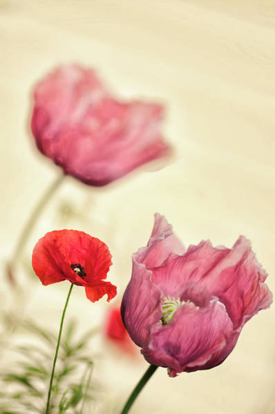 Rockville Photograph - Red Shirley Poppy And Pink Peony Poppy by Maria Mosolova