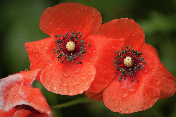 Rockville Photograph - Red Shirley Poppy Flowers After Rain by Maria Mosolova