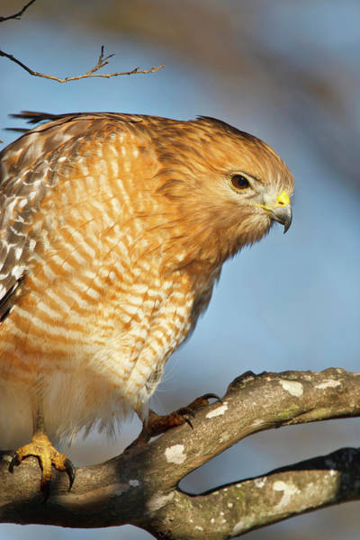 Shoulder Photograph - Red-shouldered Hawk Buteo Lineatus by Danita Delimont
