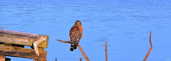 Photograph - Red Shouldered Hawk On Lake Murray Sc Panorama by Lisa Wooten