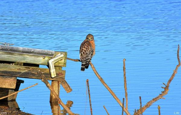 Photograph - Red Shouldered Hawk On Lake Murray South Carolina by Lisa Wooten