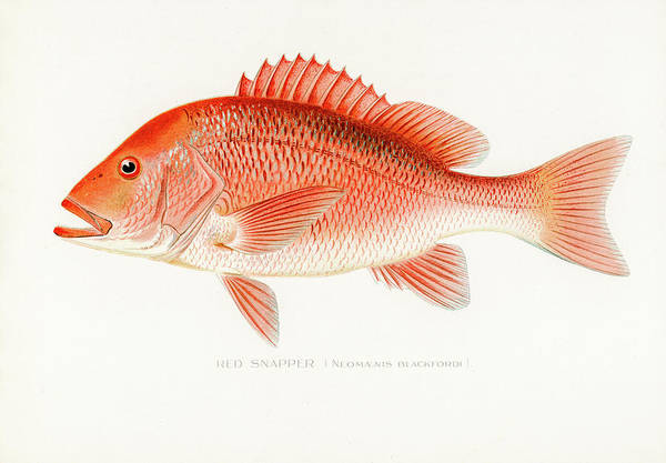 Drawing - Red Snapper by David Letts