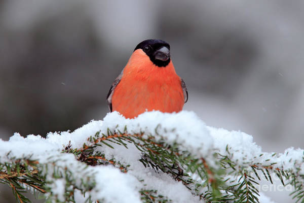Wall Art - Photograph - Red Songbird Bullfinch Sitting On Snowy by Ondrej Prosicky