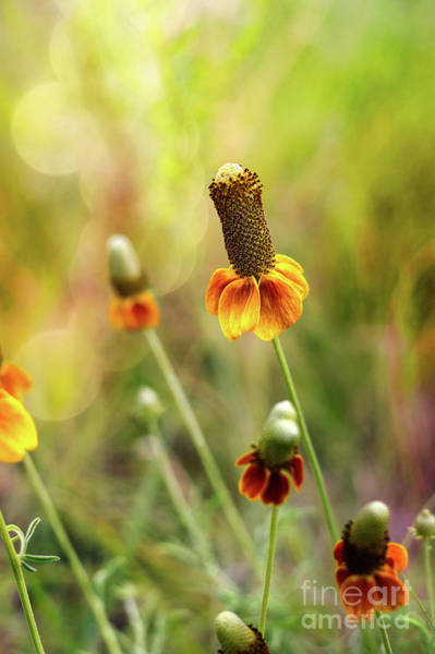 Photograph - Red Spike Mexican Hat by Susan Warren