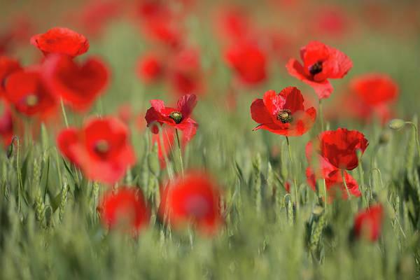 Photograph - Red Splashes Of Wild Poppies 1 by Vlad Sokolovsky