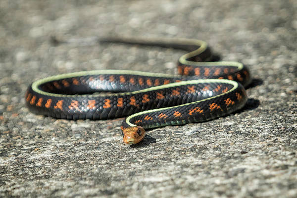 Wall Art - Photograph - Red Spotted Garter Snake by Belinda Greb