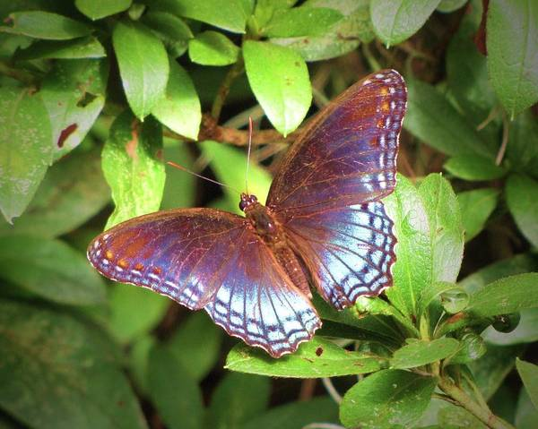 South Carolina Photograph - Red Spotted Purple Butterfly by Daniela Duncan
