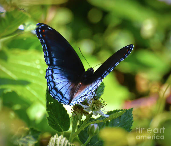 Photograph - Red-spotted Purple Butterfly On Multiflora Rose by Kerri Farley