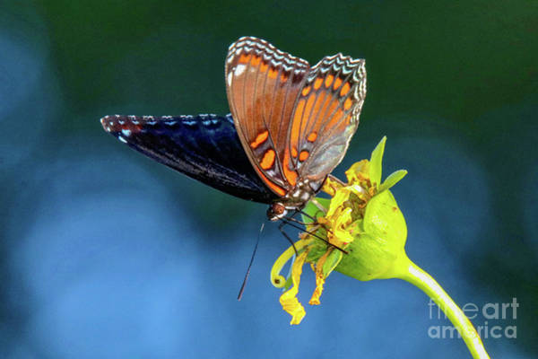 Photograph - Red-spotted Purple Butterfly by Susan Rydberg