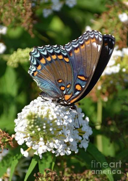 Dwayne Johnson Wall Art - Photograph - Red-spotted Purple On White Butterfly Bush by Cindy Treger