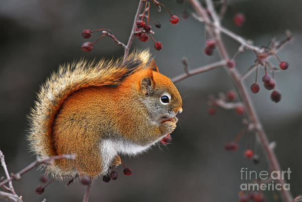 Wall Art - Photograph - Red Squirrel Eating Berries Of Ash Tree by Nancy Bauer