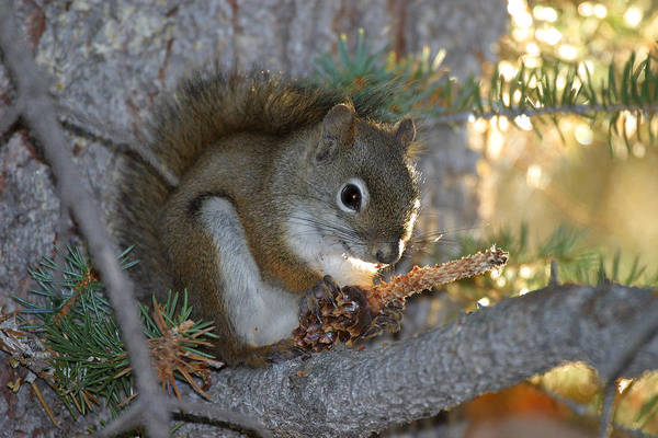 Wall Art - Photograph - Red Squirrel Eating Pine Cone by David Hosking