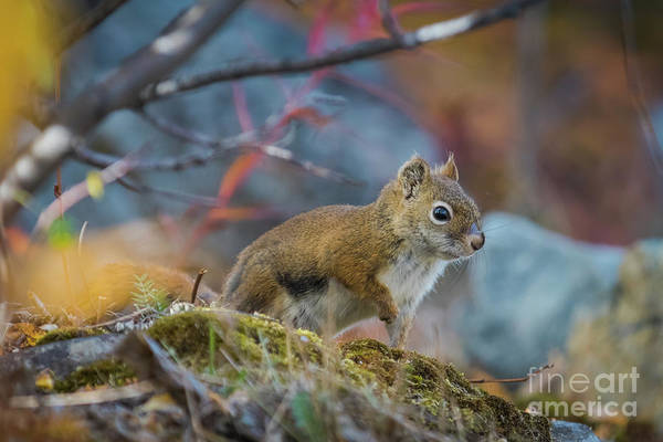 Photograph - Red Squirrel by Eva Lechner