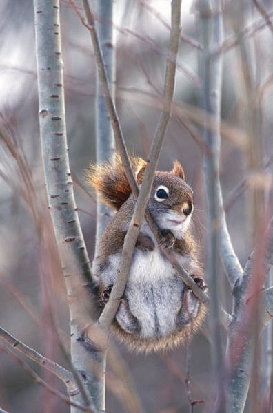 Wall Art - Photograph - Red Squirrel In Winter by Rod Planck