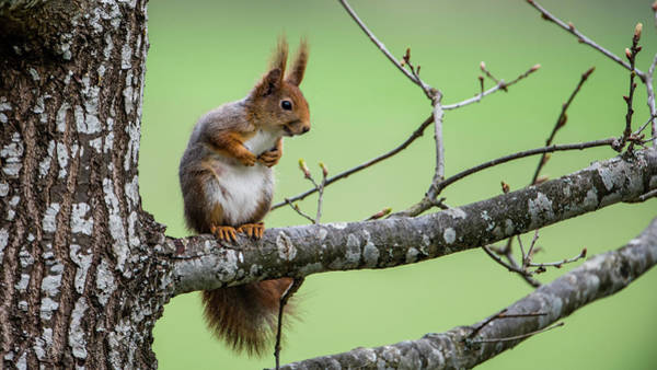 Photograph - Red Squirrel On An Oak Branch by Torbjorn Swenelius