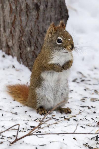 Photograph - Red Squirrel Sax Zim Bog by Paul Schultz