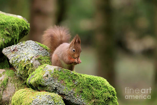 Wall Art - Photograph - Red Squirrel Sciurus Vulgaris Eating A Seed On A Stone Wall by Louise Heusinkveld