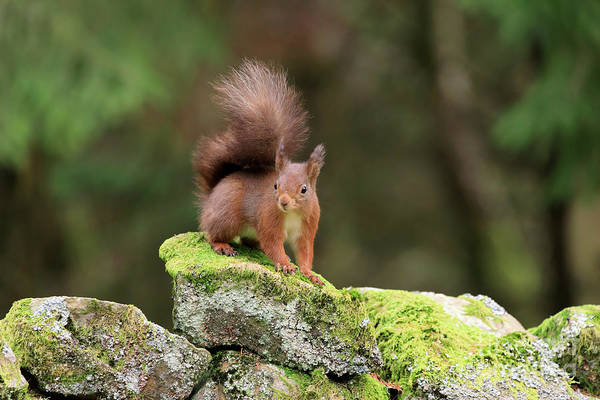 Wall Art - Photograph - Red Squirrel Sciurus Vulgaris Looking Alert On A Stone Wall by Louise Heusinkveld