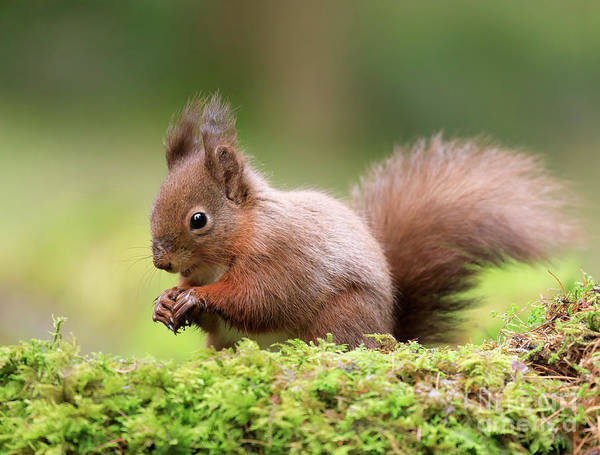 Wall Art - Photograph - Red Squirrel Sciurus Vulgaris by Louise Heusinkveld