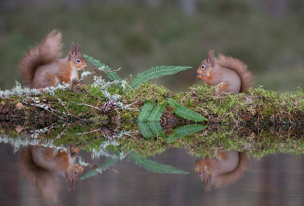 Photograph - Red Squirrels At A Woodland Pool by Peter Walkden