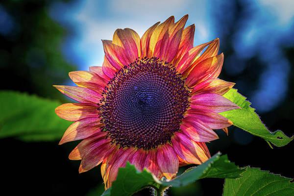 Photograph - Red Sunflower #2 by Allin Sorenson