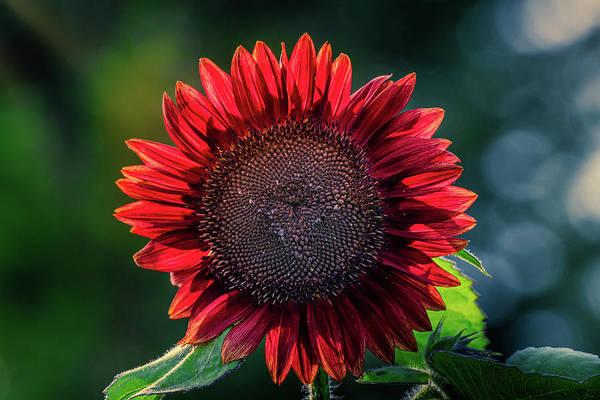 Photograph - Red Sunflower by Allin Sorenson