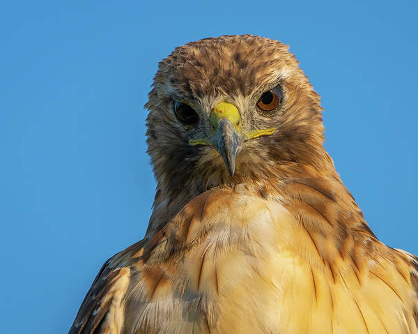 Photograph - Red Tail Hawk by Brad Bellisle