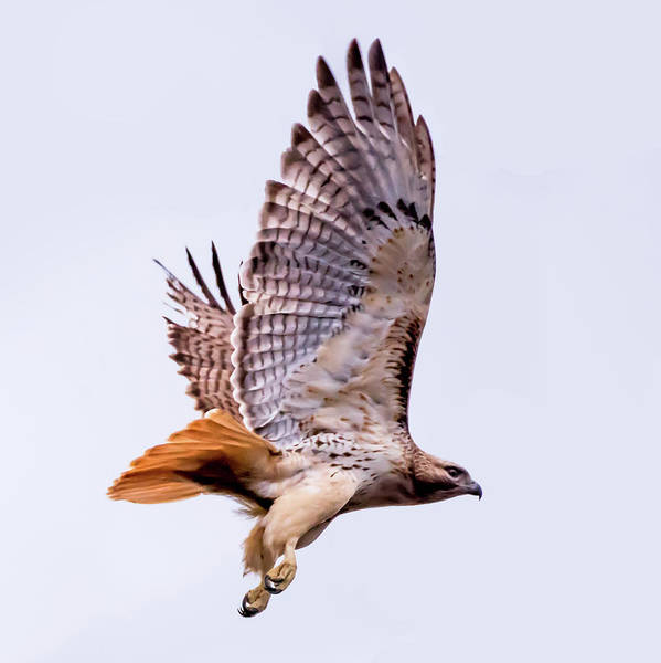 Photograph - Red Tail Hawk In Flight by Terry DeLuco