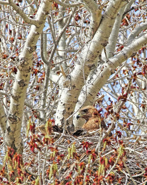 Wall Art - Photograph - Red Tail Hawk In Nest by Jennie Marie Schell
