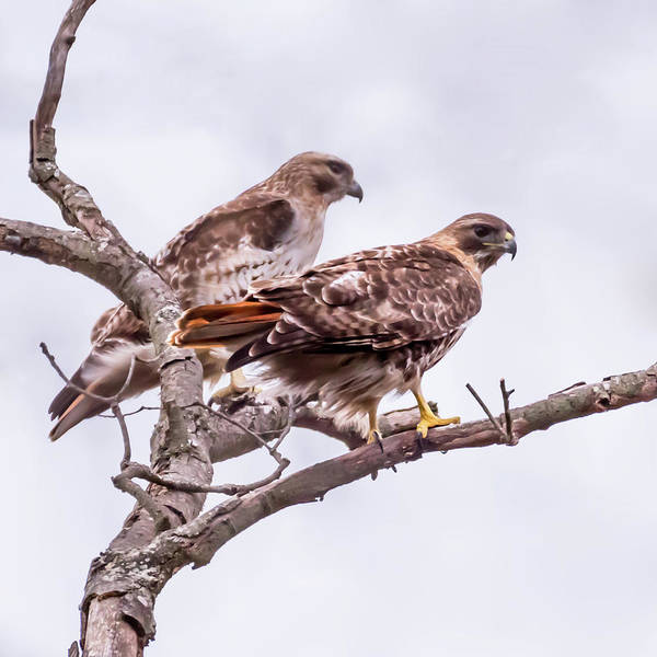 Photograph - Red Tail Hawk Pair by Terry DeLuco