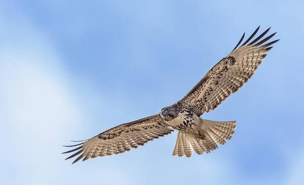Photograph - Red Tail In Flight 2 by Rick Mosher