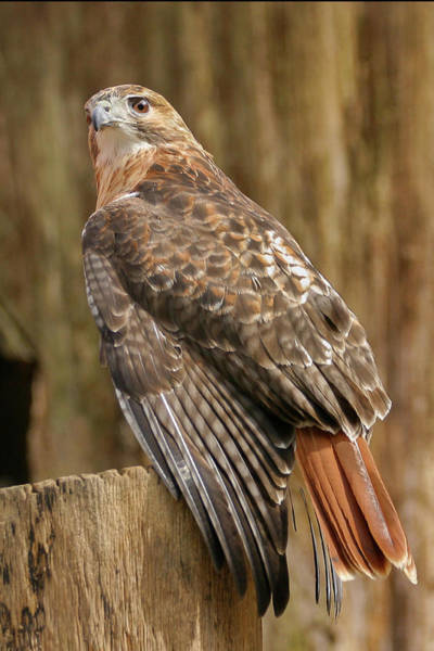 Photograph - Red Tail by Ronnie and Frances Howard