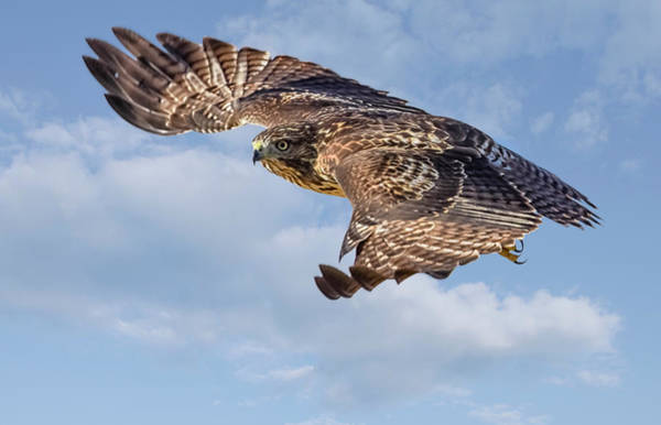 Photograph - Red Tailed Hawk In Flight by Rick Mosher