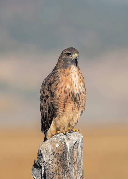 Wall Art - Photograph - Red Tailed Hawk On A Post by Loree Johnson