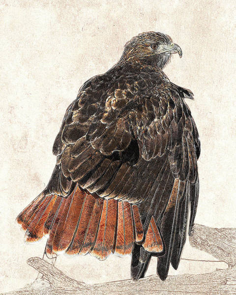Photograph - Red-tailed Hawk - Photographic Drawing by Dawn Currie
