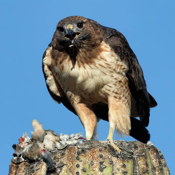 Wall Art - Photograph - Red-tailed Hawk Portrait by Kathleen Bishop