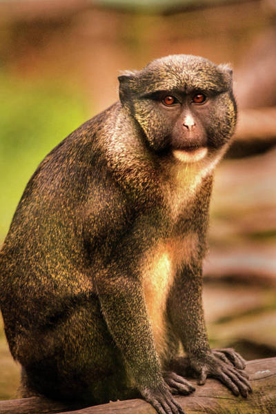 Photograph - Red Tailed Monkey by Don Johnson